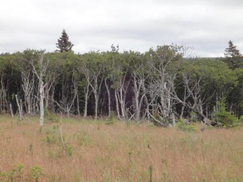 Paper birch pioneering the open land after the death of the spruce and fir from spruce bud worm in the 1970's